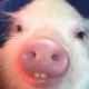 угарні свині